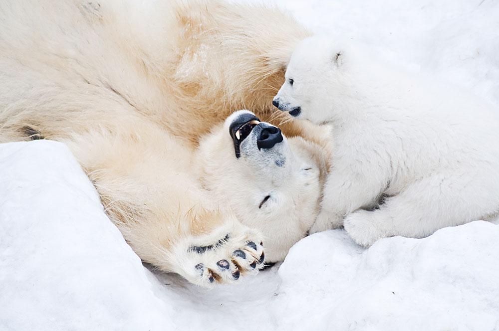 giornata orso polare orsetti