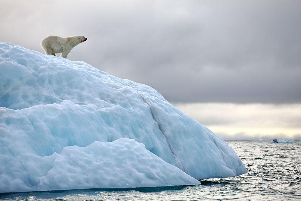 orsi polari orsetti